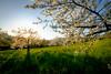 Trees in bloom (Mario Graziano) Tags: tree trees bloom blooms blooming spring flowers flower flowering albero alberi fiore fioritura primavera oradoro goldenhour ora doro golden hour