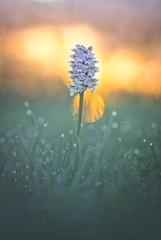 Radieuse (donlope1) Tags: macro nature light flower fleur orchid lactea neotinea sunrise morning dew sun proxy macrodreams