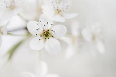 période blanche (christophe.laigle) Tags: christophelaigle fleur macro nature flower fuji pommier blanche blanc xpro2 xf60mm white