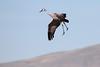 Sandhill Cranes (jlcummins - Washington State) Tags: bird wildlife washingtonstate westrichland bentoncounty fauna sandhillcranes