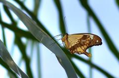 Farfalla 8 (Maurizio Belisario) Tags: farfalla animali animals volo fly ali