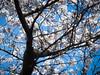 (massimopisani1972) Tags: spetteguless roma lazio italia hanami ciliegi fioritura ciliegio rome italy primavera olympus mirrorless omd em5mk2 springtime