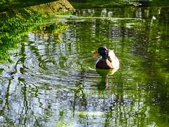 Duck (voyageurrr) Tags: duck bird canard утка птица природа весна printemps primavera spring naturaleza nature natura volateria green vert verde wiosna eau h2o aqua agua water oiseau sony