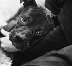 Joey's dog (andrea.peterfly) Tags: homeless dogs dog pitbull canine montreal quebec streetphotography streetlife portrait blackandwhite sad poverty puppy people