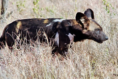 African Wild Dog In Tall Grass (Susan Roehl) Tags: kenya2015 lewawildlifeconservancy eastafrica africanwilddog lycaonpictus canidaefamily mammalcarnivore onlyspeciesinthegenuslycaon susanroehl photographictour naturalexposures pentaxk3 150500sigmalens handheld takenfromjeep cropped animal outdoors dog ngc npc
