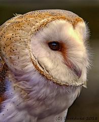 Barn Owl (daveduke) Tags: barnowl tytoalba woodieswings cromford sonya7rm2 sonyilcea7rm2 sonyfe70300mmgoss