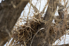 March 30, 2018 - A well-hidden Great Horned Owl in its nest in Eastlake. (Tony's Takes)