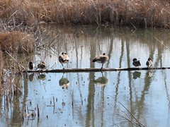 March 17, 2018 - Birds hang out on a log at McKay Lake. (David Canfield)