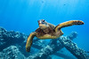 turtle8Mar27-18 (divindk) Tags: cheloniamydas hawaii hawaiianislands malaramp maui scientificname underwater diverdoug endangeredspecies greenseaturtle marine ocean reef sea seaturtle turtle underwaterphotography