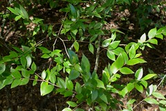 *Myrtus communis, MYRTLE (openspacer) Tags: jasperridgebiologicalpreserve jrbp myrtaceae myrtle myrtus nonnative shrub