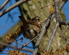 White-throated Sparrow (Dendroica cerulea) Tags: whitethroatedsparrow zonotrichiaalbicollis zonotrichia passerellidae passeroidea passerida passeri passeriformes psittacopasserae eufalconimorphae aves bird sparrow spring donaldsonpark highlandpark middlesexcounty nj newjersey