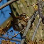 White-throated Sparrow thumbnail