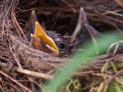Blackbird Chick (dusk_rider) Tags: blackbird baby chicken hatchling nest nikon d7200 nikkor 60mm f28d nature tree dusk rider 7dwf