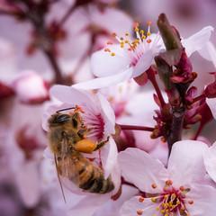 Prescott-2465 (Michael-Wilson) Tags: plumtree insects bee insect bees tree flowering macro wildlife michaelwilson arizona spring flower flowers