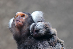 Marmoset and her baby - Ouistiti et son bébé (Nicolas Rouffiac) Tags: ouistiti marmoset monkey monkeys singe singes mignon baby bébé mother mère cute animal