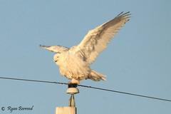 Balancing act (ryanberrend) Tags: snowyowl owl wisconsin bird