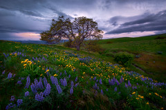 That Old Tree (Konejita) Tags: pacificnorthwest washington columbiahillsstateparkcolumbiarivergorgewildflowers lupine balsamroot sunset nikon 1424mm d600 christinaangquico