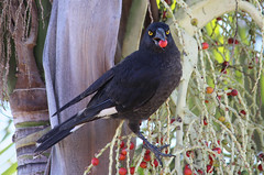Pied Currawong 028 (DMT@YLOR) Tags: currawong piedcurrawong goodna ipswich queensland australia aussie black red green berry berries palm bangalowpalm nature beak eyes yellow food feed feathers closeup