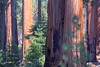 IMG_9692 Giant Forest, Sequoia National Park (ThorsHammer94539) Tags: sequoia national park