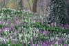 Holwortel (Pieter ( PPoot )) Tags: dickninge landgoed holwortel paars wit