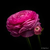 Buttercup (Magda Banach) Tags: canon canon80d sigma150mmf28apomacrodghsm blackbackground buds buttercup buttercups colors flora flower flowerbud flowers macro nature pink plants