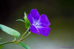 Pervenche Vinca Minor (4) (Ezzo33) Tags: france gironde nouvelleaquitaine bordeaux ezzo33 nammour ezzat sony rx10m3 parc jardin fleur fleurs flower pervenche violette vinca minor major