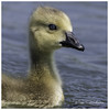 Baby Canadian (timgoodacre) Tags: babycanadian canadian canadiangoose goose bird birds wildbird water waterfowl waterbird waterdrops portrait birdportrait colourportrait