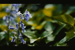 itg_blues (Peter G. K.) Tags: fujifilm xe1 fujixe1 flowers blue garden vintagelens canonfd50mm