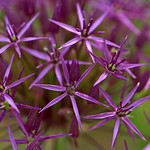 Allium thumbnail