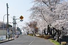 DSC_0229 (tcchang0825) Tags: 新境川堤 岐阜 各務原 gifu japan sakura cherryblossom 櫻花 桜