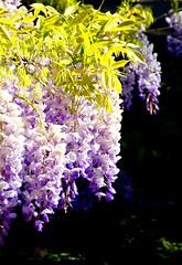 Hanging out with Mother Nature (barbara_donders) Tags: natuur nature bokeh spring lente hangen purple paars mooi beautifull magical prachtig flowers bloemen