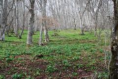 Hayedo en primavera (Castroviejo, La Rioja, España, 15-4-2018) (Juanje Orío) Tags: 2018 castroviejo larioja provinciadelarioja españa espagne espanha espanya spain naturaleza nature bosque árbol