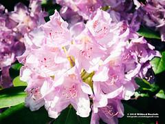 DSC_4337bw1 (Roelofs fotografie) Tags: wilfred roelofs nikon d5600 flower flowers fotgrafie foto nature neterlands dutch holland flora color 2018 outdoor adobe fotografie picture