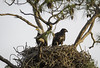 Parent and Child (Longleaf.Photography) Tags: parent child eagle bald tree nest gulfshores al wildlife bird