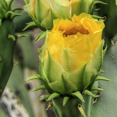 Cactus Bloom, 49/100x (clarkcg photography) Tags: yellow sunrise color cactus pricklypearcactus cheerful bloom flower bud sunshinesunday 100xthe2018edition 100x2018 image49100