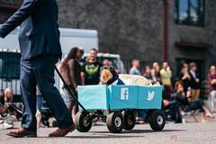 PugCrwal-135 (sweetrevenge12) Tags: pug parade crawl brewing sony pugs dog pet