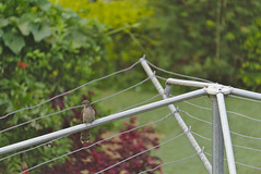 Pacific Island thrush?? (eomer1) Tags: papuanewguinea bird mybackyard brown