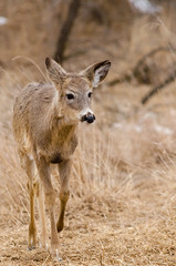 Whitetail Deer (janelle.streed) Tags: whitetaildeer deer whitetaileddeer odocoileusvirginianus animals mammals wildlife nature outdoors minnesota spring