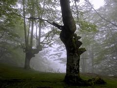Basoko zaindaria (josuneetxebarriaesparta) Tags: basoa monte hayedo ent zaindaria vigilante árboles trees lainoa niebla forest fog basquecountry belaustegi orozko bizkaia euskadi zuhaitzak pagoak