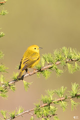 ''The sun!'' Paruline jaune-Yellow warbler (pascaleforest) Tags: oisea bird animal passion vert green jaune yellow wild widlife faune québec canada printemps spring