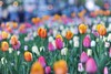 Spring Flowers (Kirby Wright) Tags: flower flowers tulip tulips color pink red yellow white green stem petal bokeh out focus depth field sharp spring madison wisconsin capitol square state st blue hour sunset natural city nikon d700 85mm f14 14