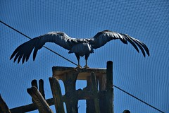Spread Your Wings (Scott 97006) Tags: condor bird wings feathers huge flight pearch