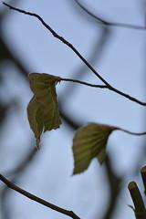de eerste blaadjes_D718960 (Vogelmelk) Tags: blad beuk boom lente spring tree