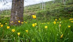 Tulipes sauvages (Romain Guilhot) Tags: alsace canon fra faune fleursetplantes france paysage avril printemps