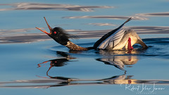 Hey there, look at me! (~ Bob ~) Tags: bird iceland redbreastedmerganser calling courtshipdance latesun nature