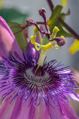 Passion Flower (Warp Factor) Tags: 105mm canont4i flowers passionflower sigma spring2018 backyard f28 macro passiflora amethystpassionflower lavenderlady
