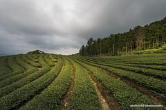 Tea Plantation (grant1980:)) Tags: tea plantation 茶園