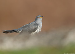 Cuckoo (Mike Mckenzie8) Tags: cuculus canorus british uke wild wildlife bird spring heather moor heathland parasitic migrant