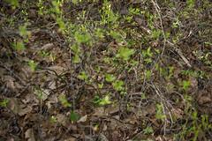 Timber rattlesnake (mperez171) Tags: timber rattlesnake crotalus horridus venomous snake reptile pitviper viperidae