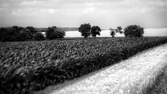 Acres & Acres (Anne Worner) Tags: anneworner blackandwhite cr124 em5 jonah lensbaby oaktrees olympus silverefex texas asphalt bw bright clouds color composerpro corn countryroad countryside farms fields fileds food grass maize manualfocus manualfocuslens mono outdoors outside produce road roadway sky sunny sunshine trees twist60 wheat triticum cereal